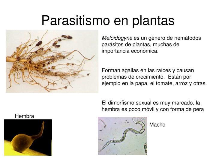 Parasitismo en plantas
