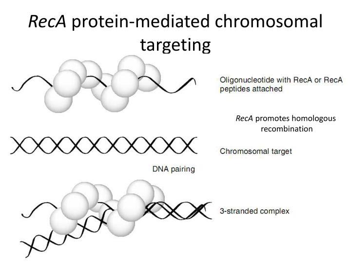 Reca protein mediated chromosomal targeting