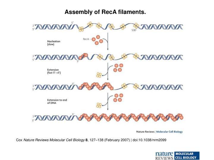Assembly of RecA filaments.