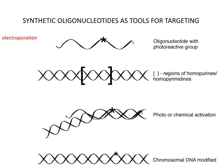 SYNTHETIC OLIGONUCLEOTIDES AS TOOLS FOR TARGETING