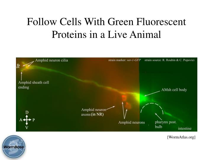 Follow Cells With Green Fluorescent Proteins in a Live Animal