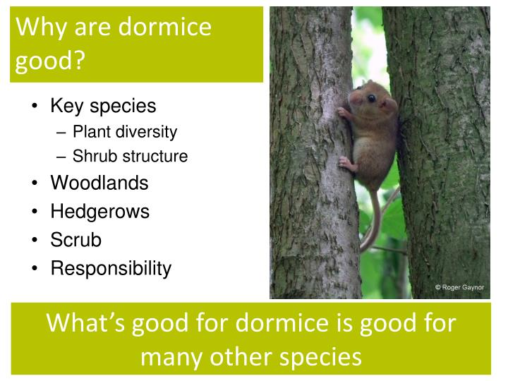 Why are dormice good?