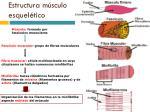 estructura m sculo esquel tico1