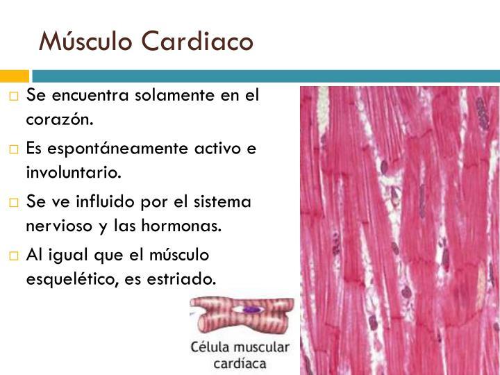 Perfecto La Función Del Tejido Del Músculo Cardíaco Ilustración ...