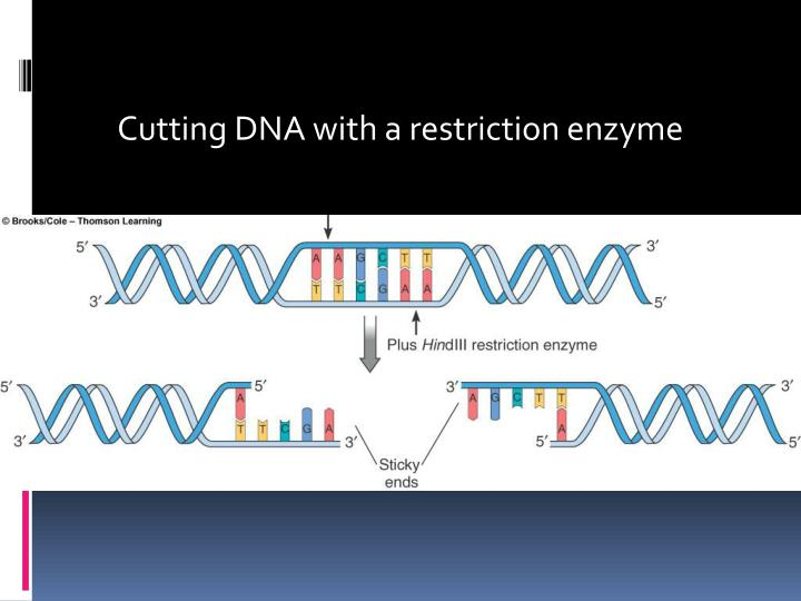 Cutting DNA with a restriction enzyme