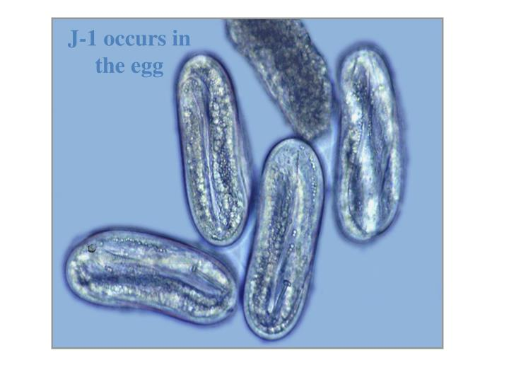 J-1 occurs in the egg