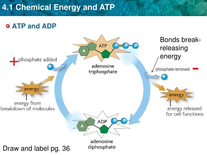 Breaks Down Food Molecules To Make Atp