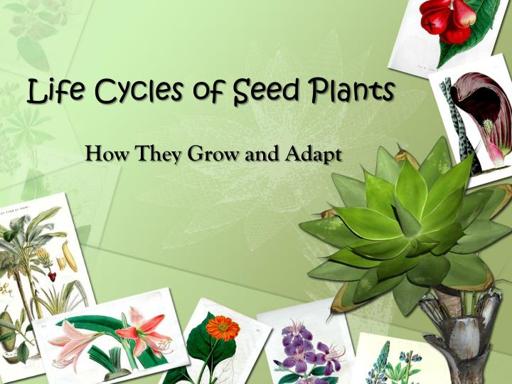 life cycles of seed plants n.