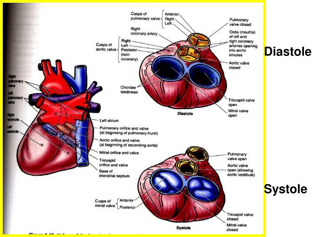 PPT - HEART ANATOMY PowerPoint Presentation, free download ...