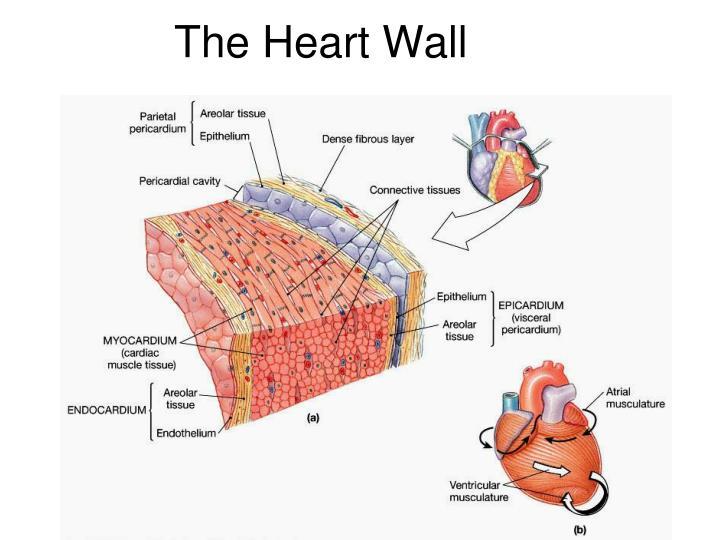 PPT - HEART ANATOMY PowerPoint Presentation - ID:6415138