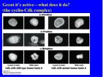 great it s active what does it do the cyclin cdk complex