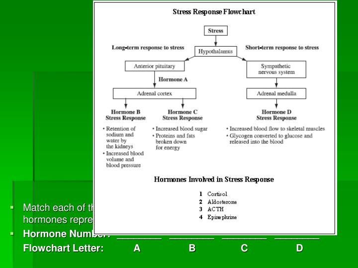 Match each of the hormones involved in the stress response with the hormones represented in the flow...