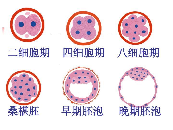 二细胞期    四细胞期    八细胞期