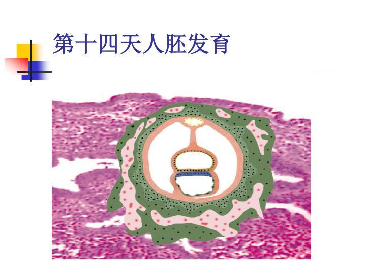 第十四天人胚发育