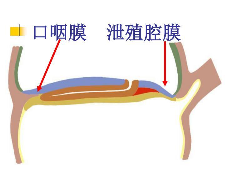 口咽膜  泄殖腔膜