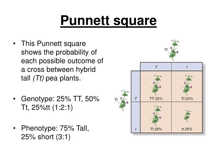 This Punnett square shows the probability of each possible outcome of a cross between hybrid tall