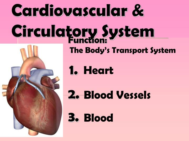 Cardiovascular circulatory system