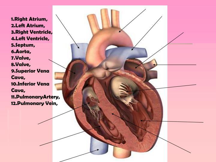 1.Right Atrium, 2.Left Atrium, 3.Right Ventricle, 4.Left Ventricle, 5.Septum,     6.Aorta,        7.Valve,         8.Valve,     9.Superior Vena             Cava,          10.Inferior Vena Cava,    11.PulmonaryArtery,      12.Pulmonary Vein,