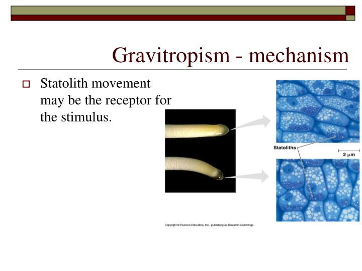 Statolith movement may be the receptor for the stimulus.