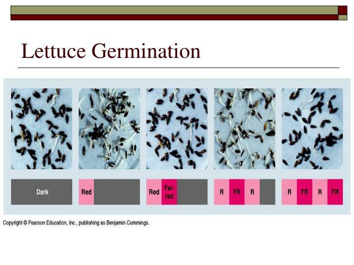 Lettuce Germination