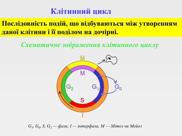 Клітинний цикл