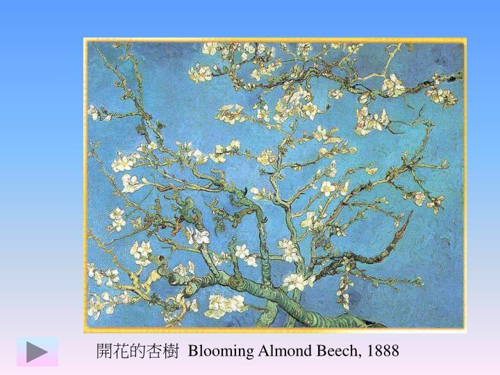 開花的杏樹