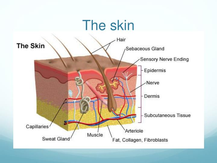 PPT - The anatomy of the skin, depth of burns and Jackson burn wound ...