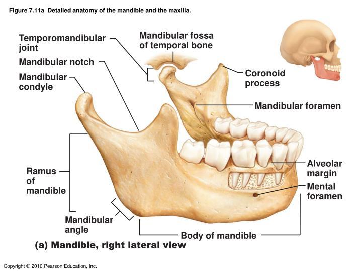 Outstanding Mandible And Maxilla Anatomy Adornment Anatomy And