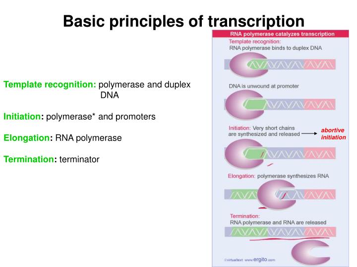Basic principles of transcription