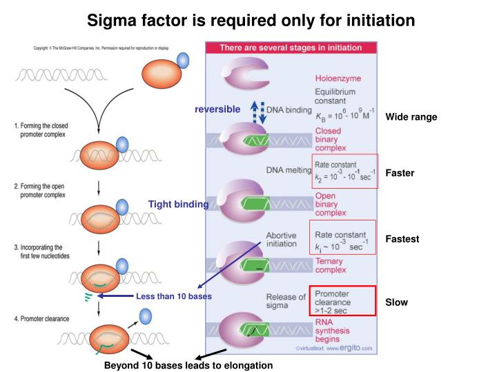 Sigma factor is required only for initiation