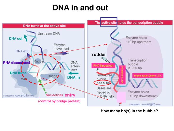 DNA in and out