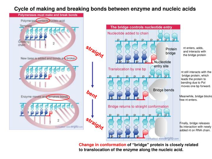 Cycle of making and breaking bonds between enzyme and nucleic acids