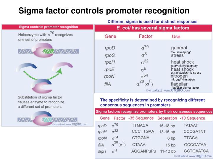 Sigma factor controls promoter recognition