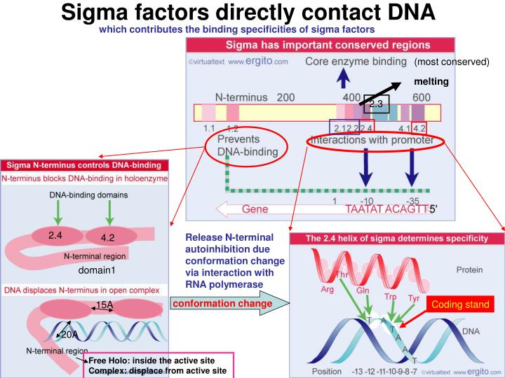 Sigma factors directly contact DNA