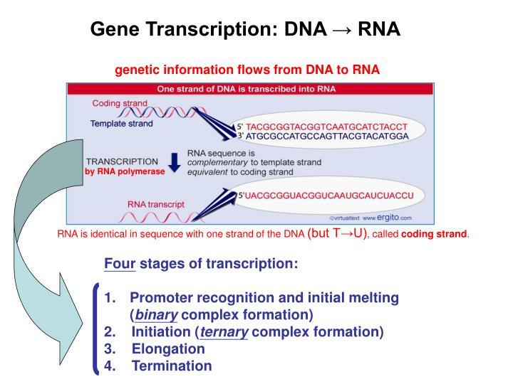 Gene Transcription: DNA → RNA