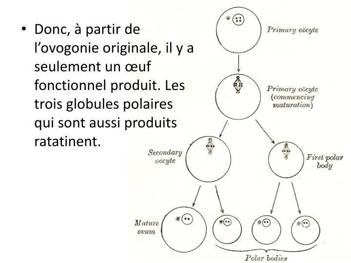 Donc, à partir de l'ovogonie originale, il y a seulement un œuf fonctionnel produit. Les trois globules polaires qui sont aussi produits ratatinent.