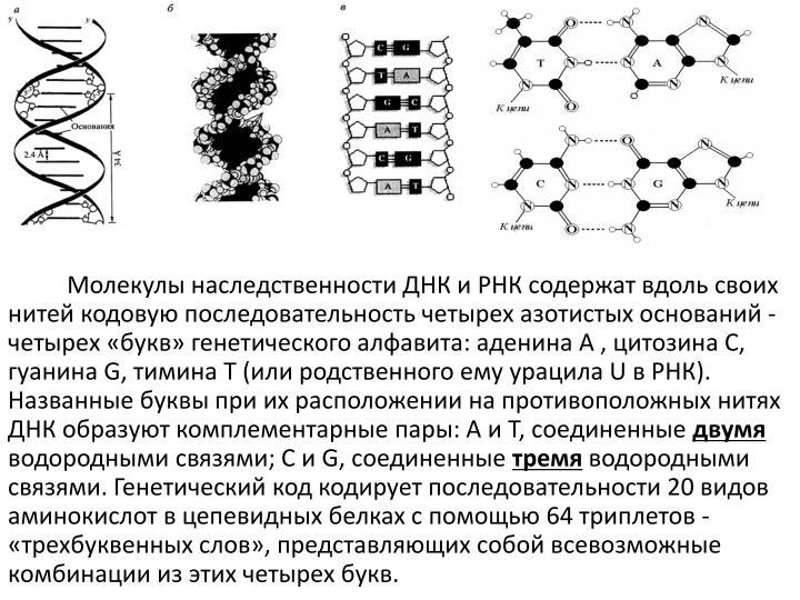 Молекулы наследственности ДНК и РНК содержат вдоль своих нитей кодовую последовательность четырех азотистых оснований - четырех «букв» генетического алфавита: аденина А , цитозина С, гуанина