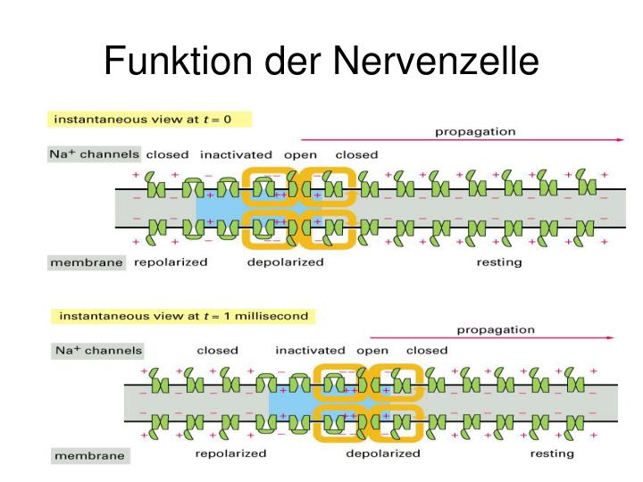 Funktion der Nervenzelle