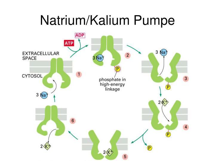 Natrium/Kalium Pumpe