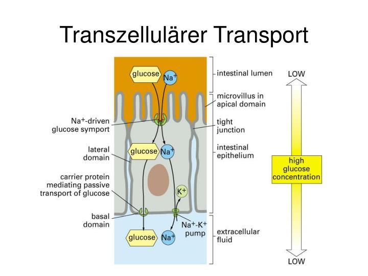 Transzellulärer Transport