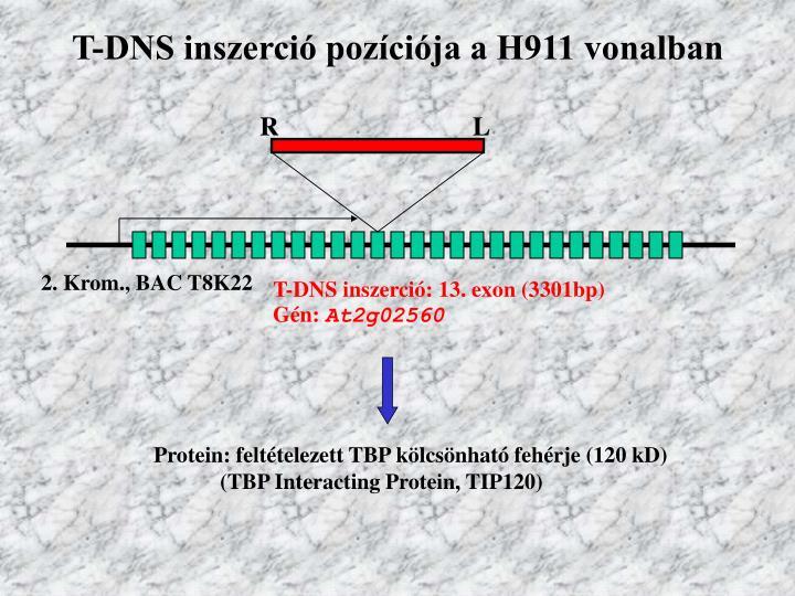 T-DNS inszerció pozíciója a H911 vonalban