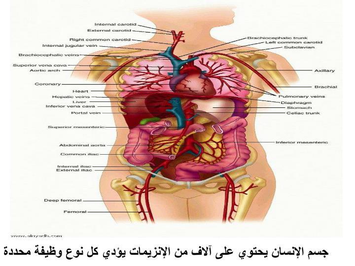 جسم الإنسان يحتوي على آلاف من الإنزيمات يؤدي كل نوع وظيفة محددة
