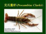 procambius clarkii