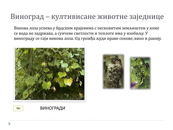 Виноград – култивисане животне заједнице