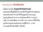 forebrain1