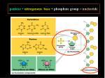 pentose nitrogenous base phosphate group nucleotide