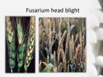 fusarium head blight