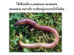 lumbricus terrestris terrestris
