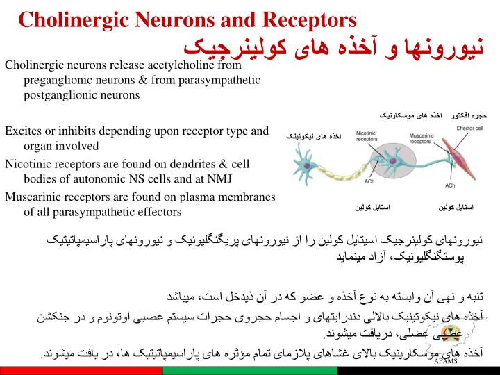 Cholinergic Neurons and Receptors