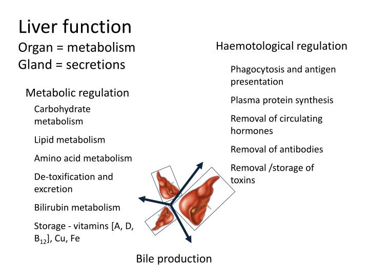 liver function organ metabolism gland secretions n.